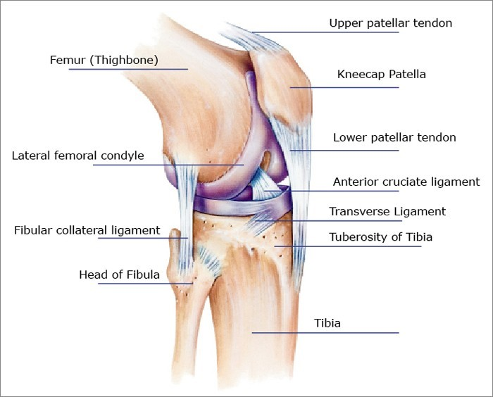 Knee Anatomy The Basics The Knee Expert
