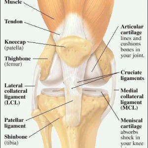 Knee Anatomy - The Basics - The Knee Expert